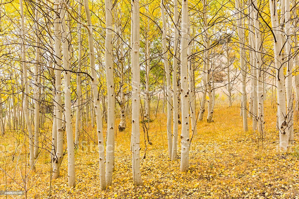 Golden Aspen Forest stock photo