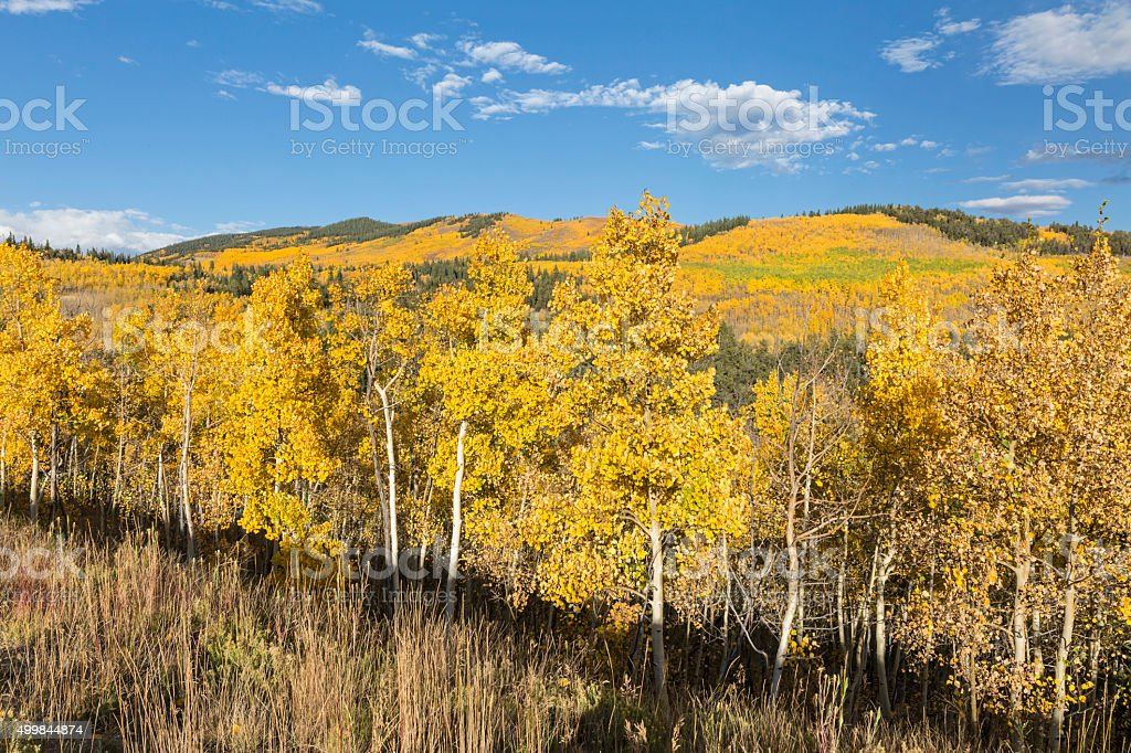 Golden Aspen Hillside stock photo