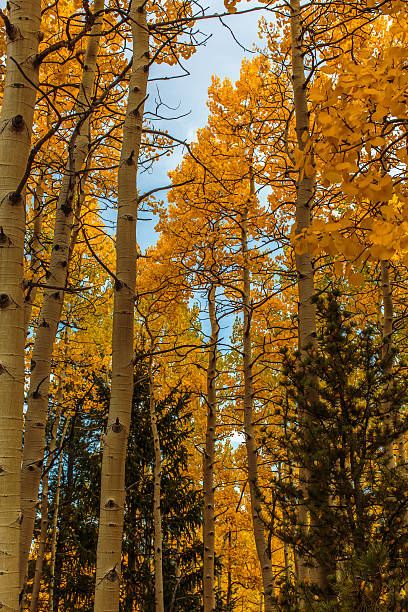 Golden Aspen Stand, Pine Trees, and Blue Sky stock photo