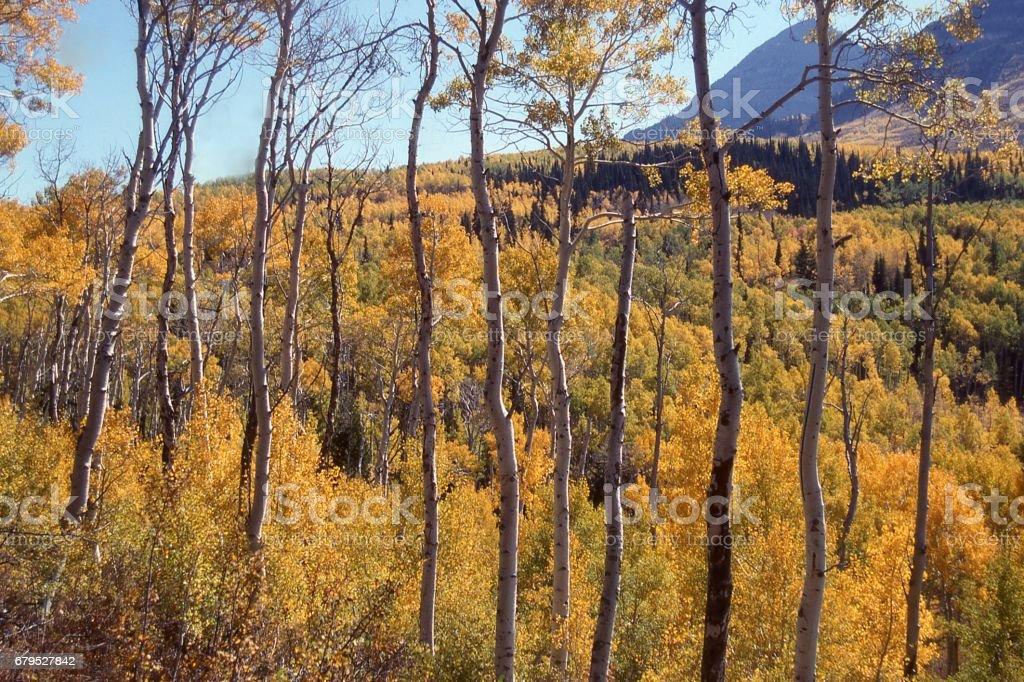 Golden aspen trees in autumn on slopes of Mount Timpanogos Utah in the Wasatch Mountains Utah royalty-free stock photo