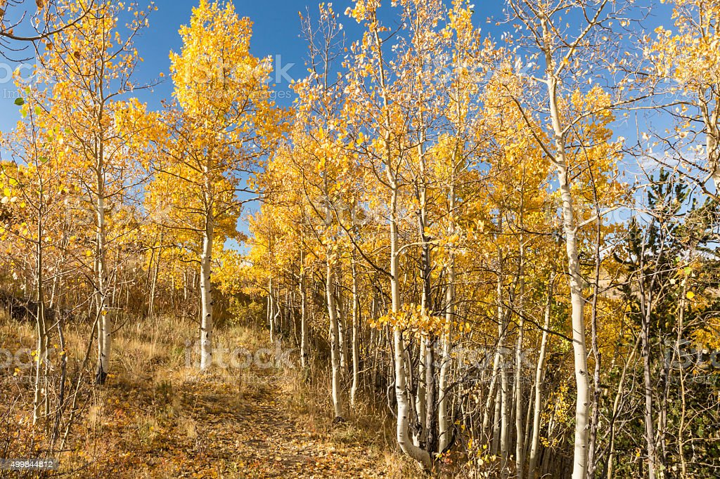 Golden Aspens and Blue Sky stock photo
