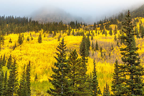 Golden Aspens and Fog stock photo
