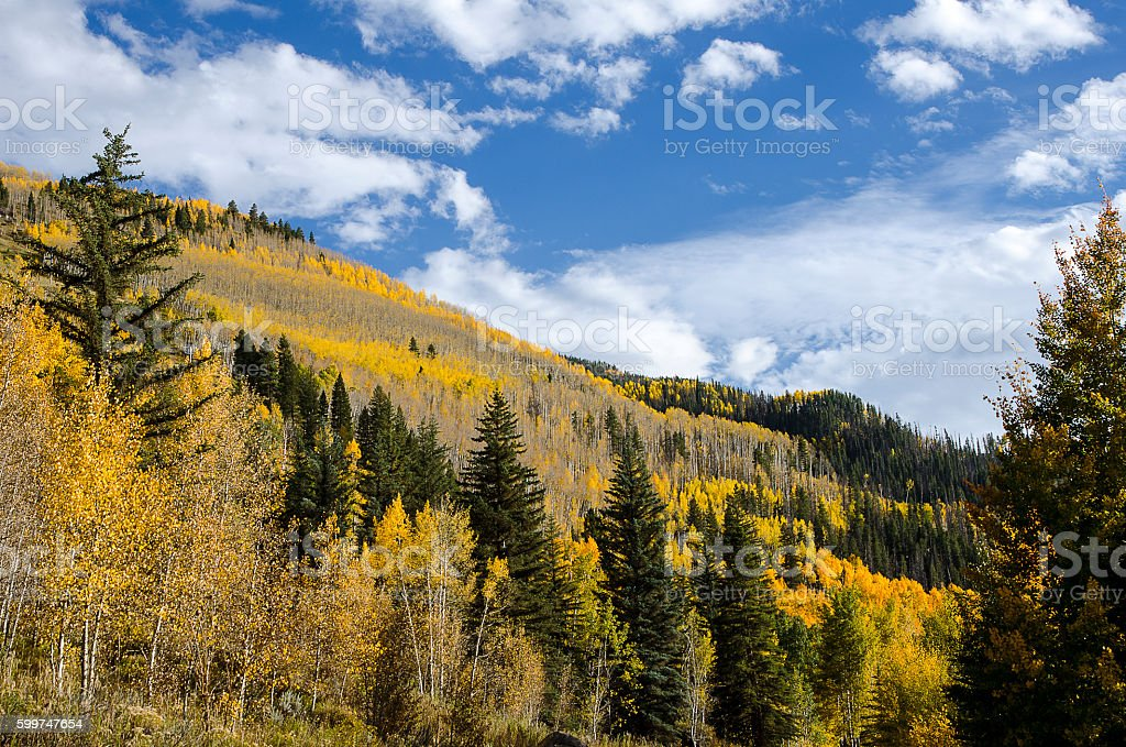 Golden Aspens at Peak Color Against a Blue Sky stock photo