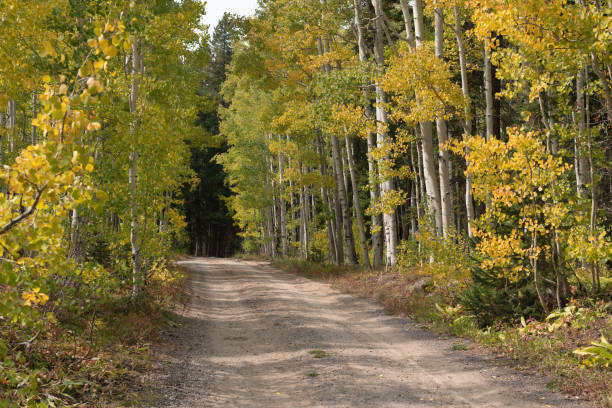 Golden aspens by a Road stock photo