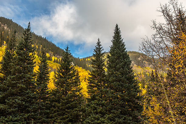 Golden Aspens, Green Pine Trees, Blue Sky, and Clouds stock photo