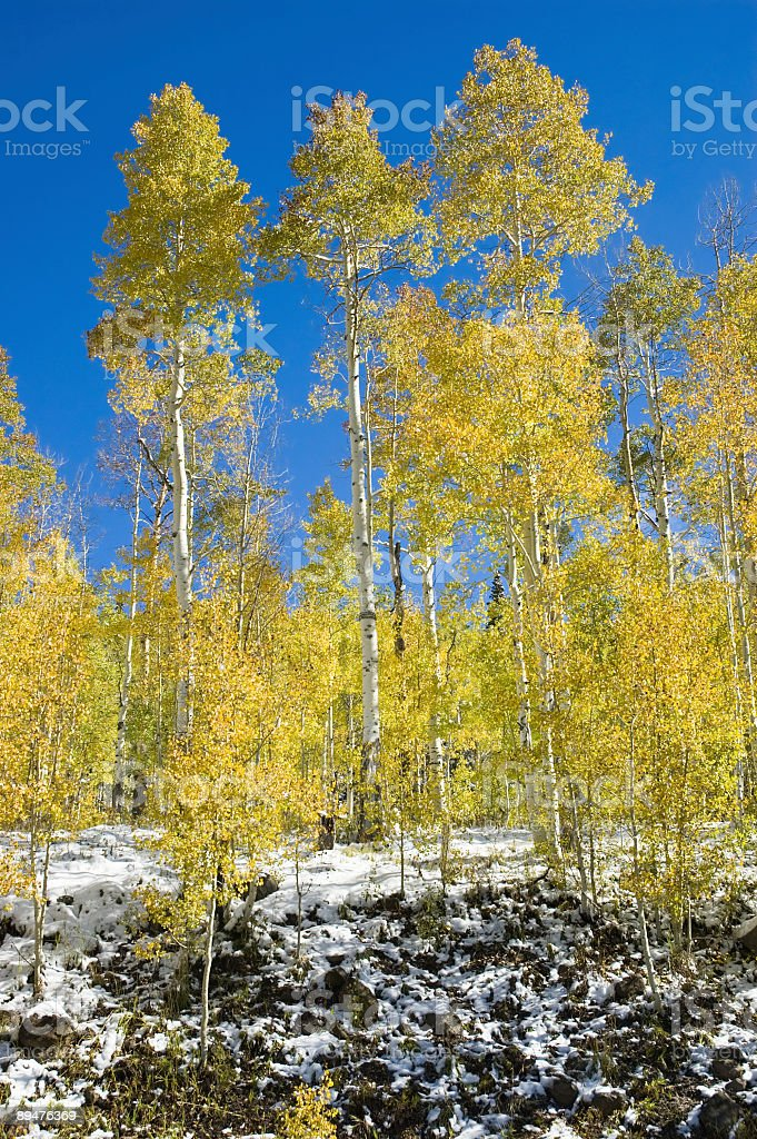 Golden Aspens stock photo