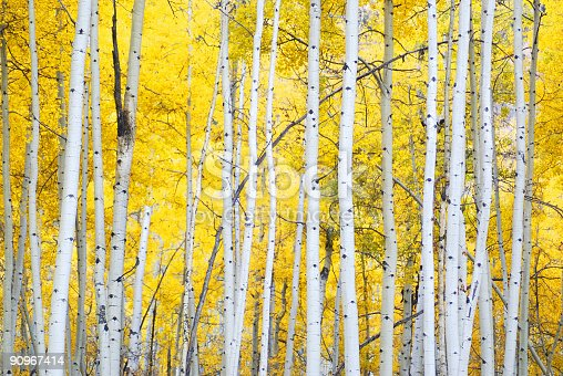 istock golden autumn aspens 90967414