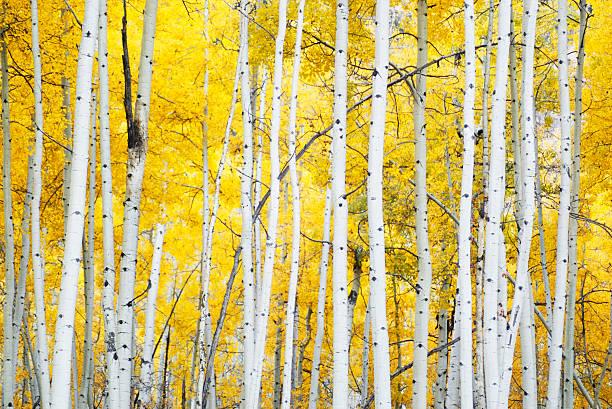 golden autumn aspens stock photo