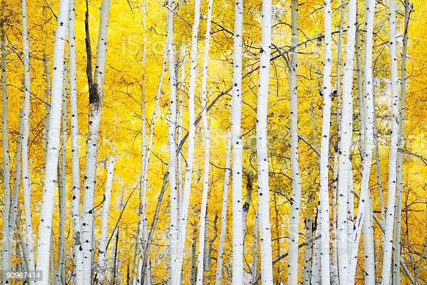 Photo of golden autumn aspens