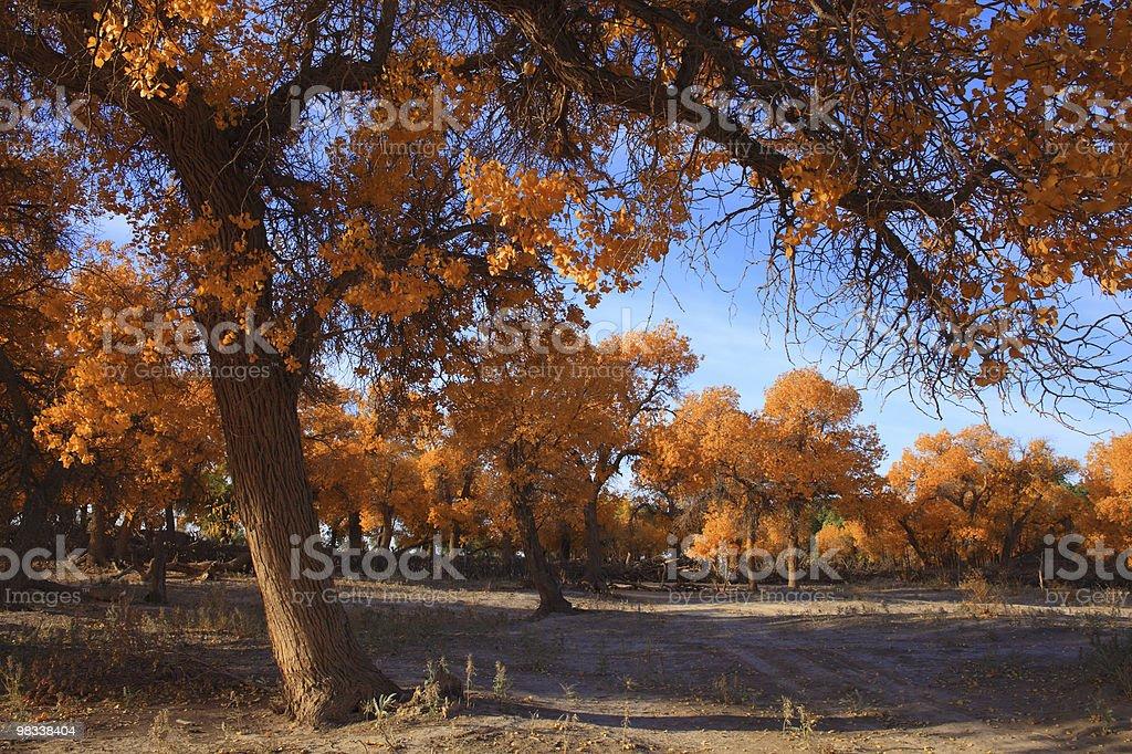 golden autumn black poplar trees royalty-free stock photo
