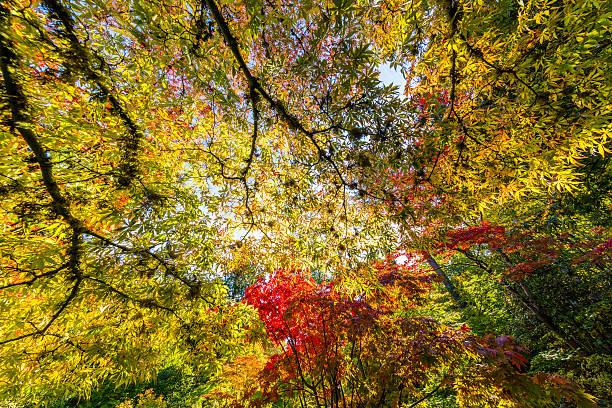 Golden autumn. Bright maple leaves stock photo