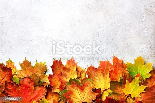 Golden autumn concept. Sunny day, warm weather. Red, orange, yellow and green maple leaves on gray concrete background. Top view. Banner.