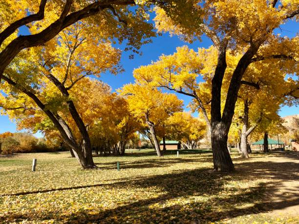 Golden Autumn Cottonwoods in a Colorado Park stock photo