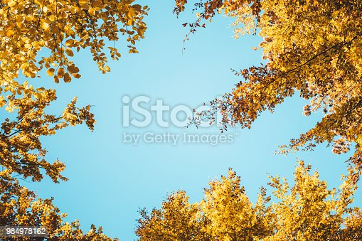 Golden autumn trees. View from below.