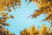 Golden autumn trees. View from below.