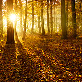Deciduous Forest of Beech Trees with Leafs Changing Colour Illuminated by Sunbeams through Fog at Sunrise in Autumn, Carpet of fallen leafs covering the ground