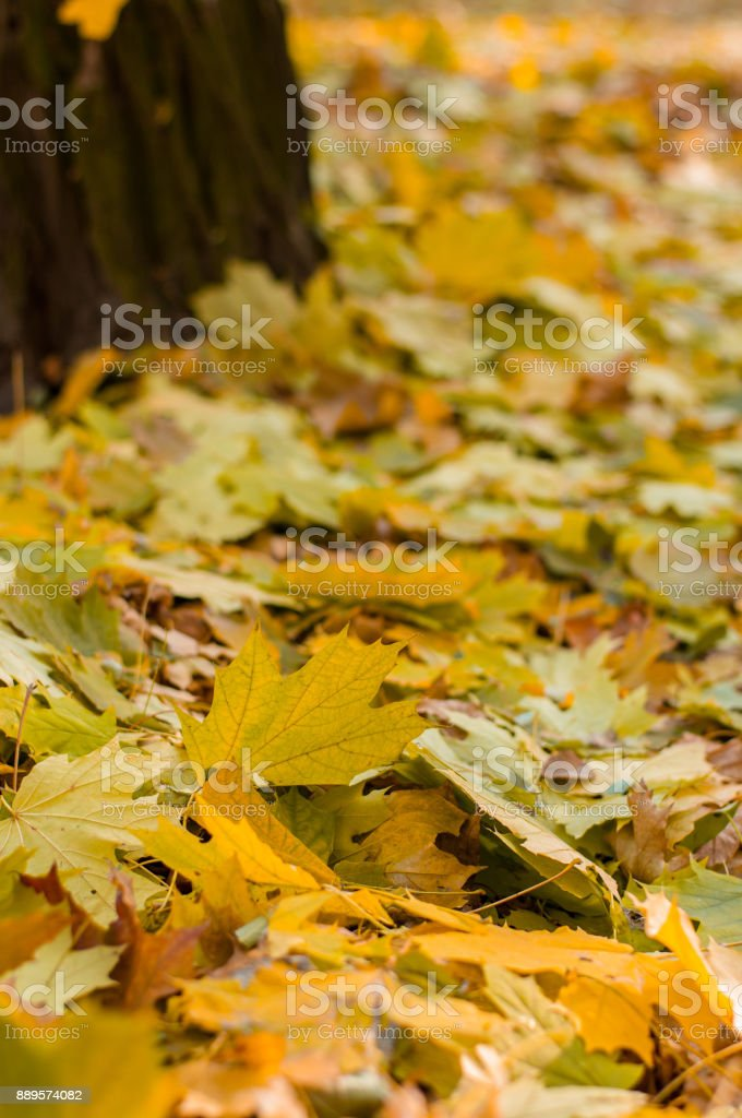 Golden autumn leaves in park and forest stock photo