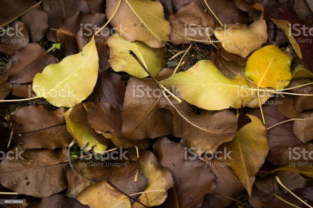 golden autumn leaves laying on the ground zbiór zdjęć royalty-free