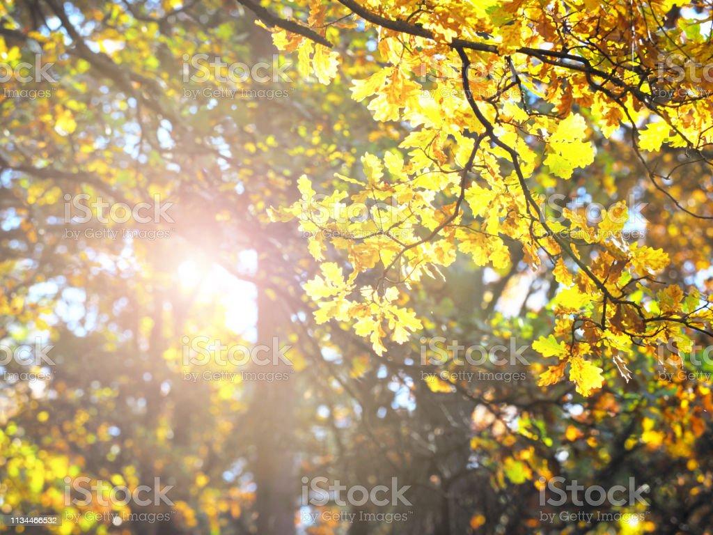 Golden autumn. Oak grove illuminated by sunlight. Gold oak, leaves...