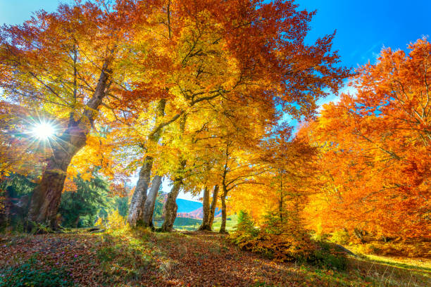 golden autumn season in forest - vibrant leaves on trees, sunny weather and nobody, real fall nature landscape - autumn stock pictures, royalty-free photos & images