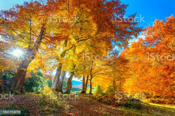 Photo of Golden Autumn season in forest - vibrant leaves on trees, sunny weather and nobody, real fall nature landscape