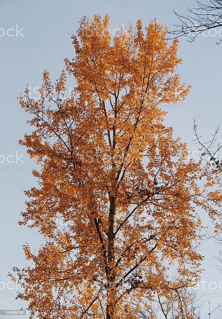 Golden Autumn Tree stock photo