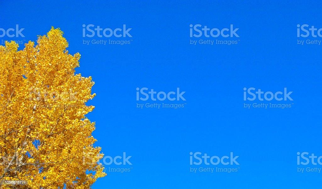 Outono dourado, árvores com folhas douradas, cópia espaço, modelo - foto de acervo