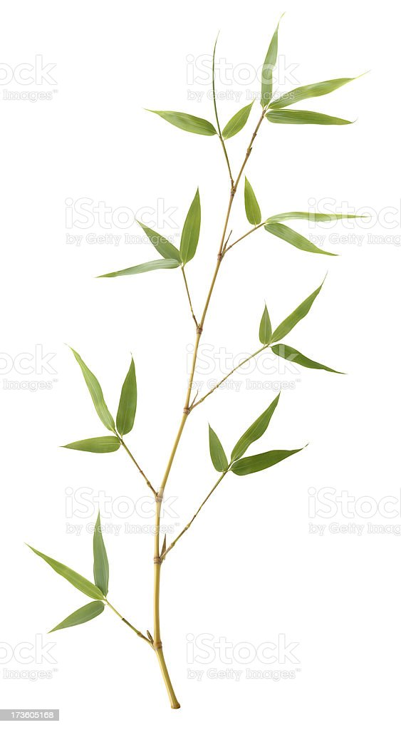 Golden Bamboo stock photo