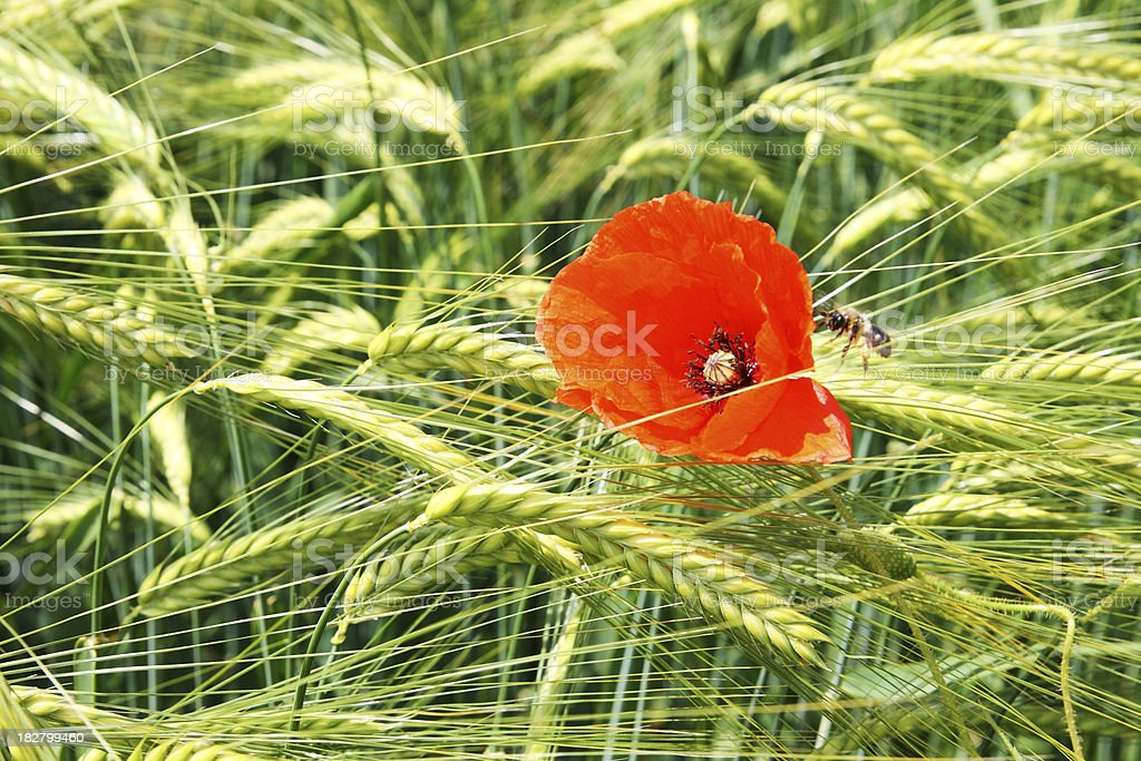 Golden barley field with poppy flower and bee royalty-free stock photo