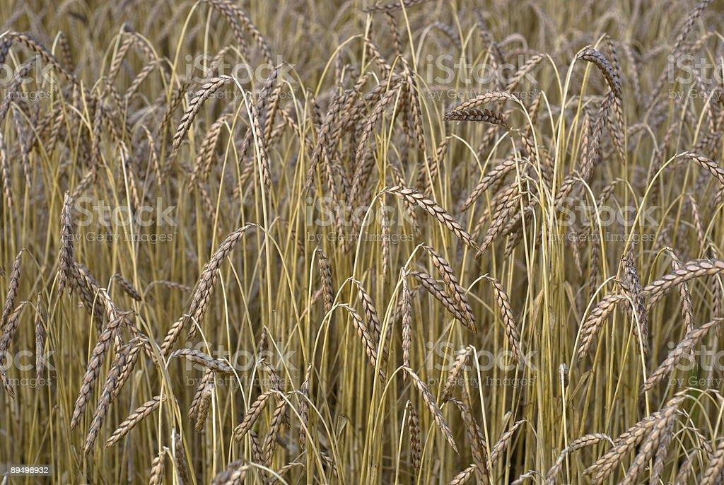 Golden  barley royaltyfri bildbanksbilder