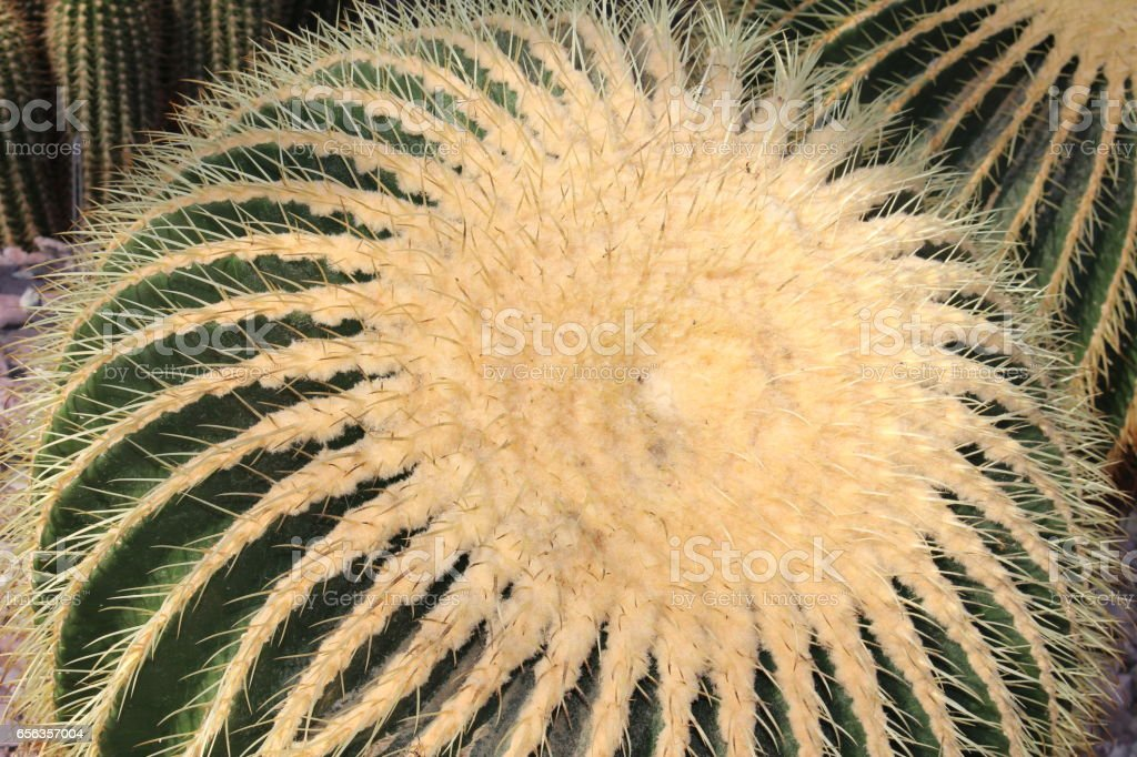Golden Barrel Cactus - Echinocactus Grusonii stock photo