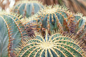 Golden Barrel Cactus, Echinocactus Grusonii Plant, closeup. large round plant, macro background