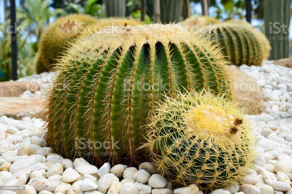 Echinocactus grusonii-le Golden baril cactus