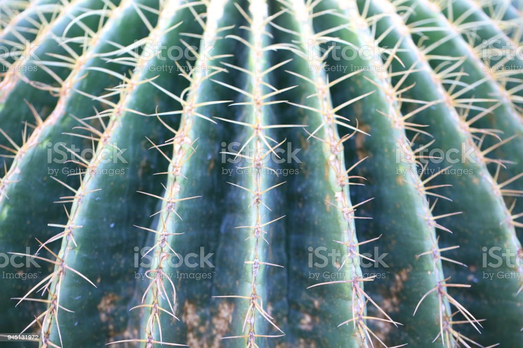golden barrel cactus or mother-in-law's cushion stock photo