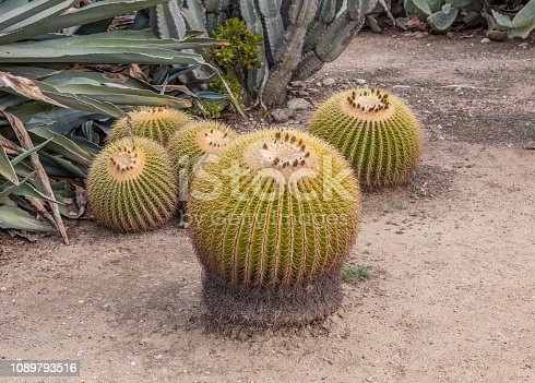 Golden Barrel Cactus, Echinocactus Grusonii outside
