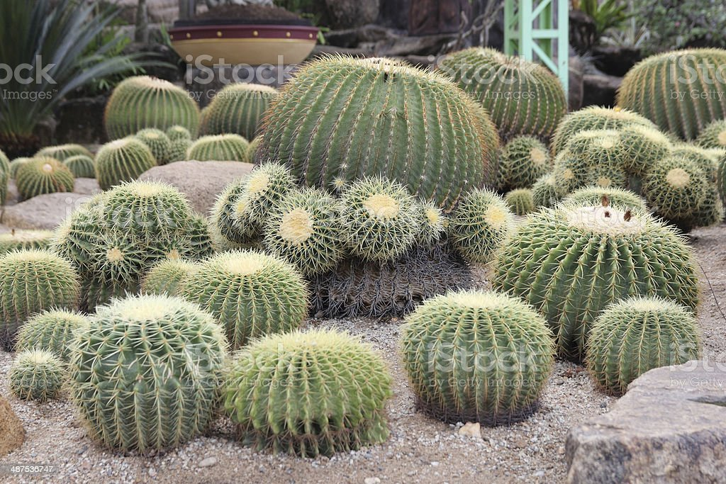 Re Garden Cuscini.Golden Barrel Cactus Stock Photo Download Image Now Istock