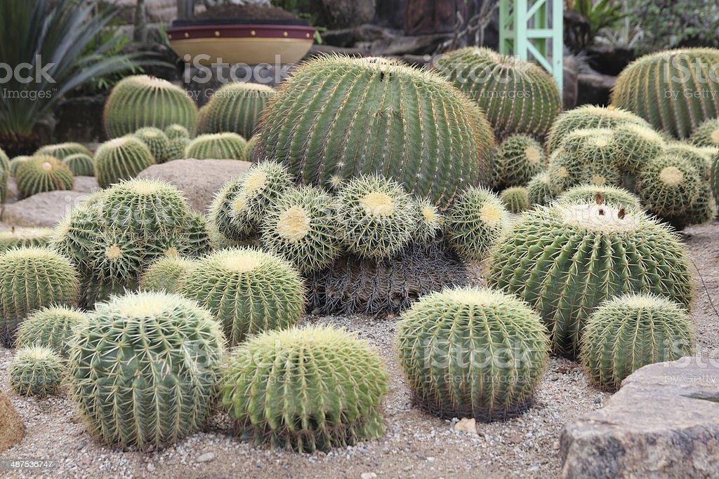Golden Barrel Cactus stock photo