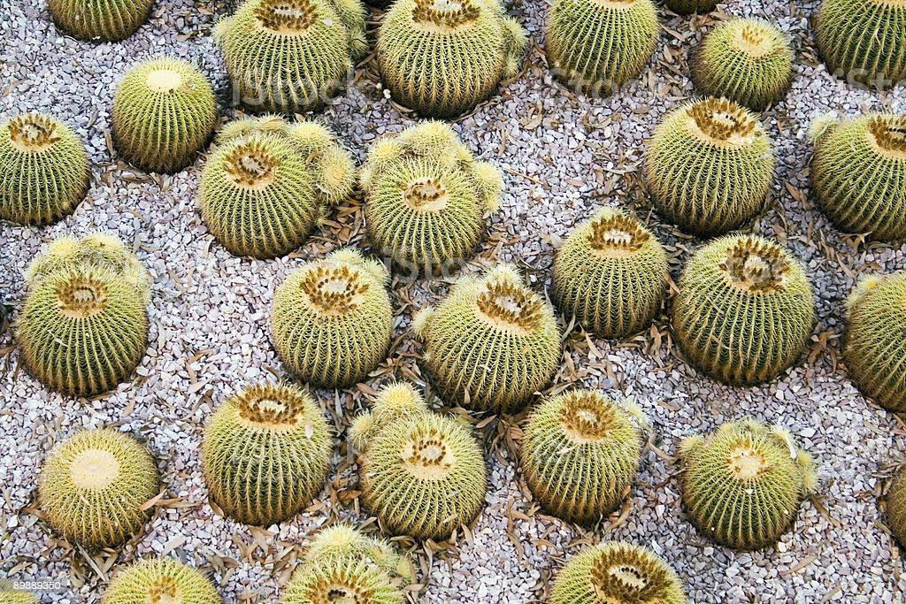 Golden Barrel Cactus royalty-free stock photo