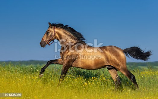 Golden bay Andalusian horse in blooming meadow against blue sky.