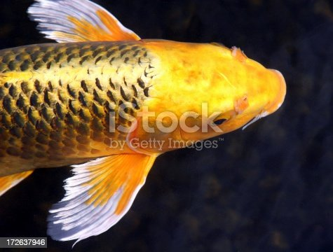A beautiful golden koi swims in a pond.