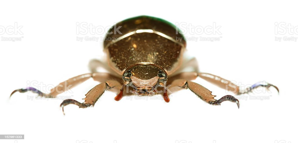 golden beetle stock photo