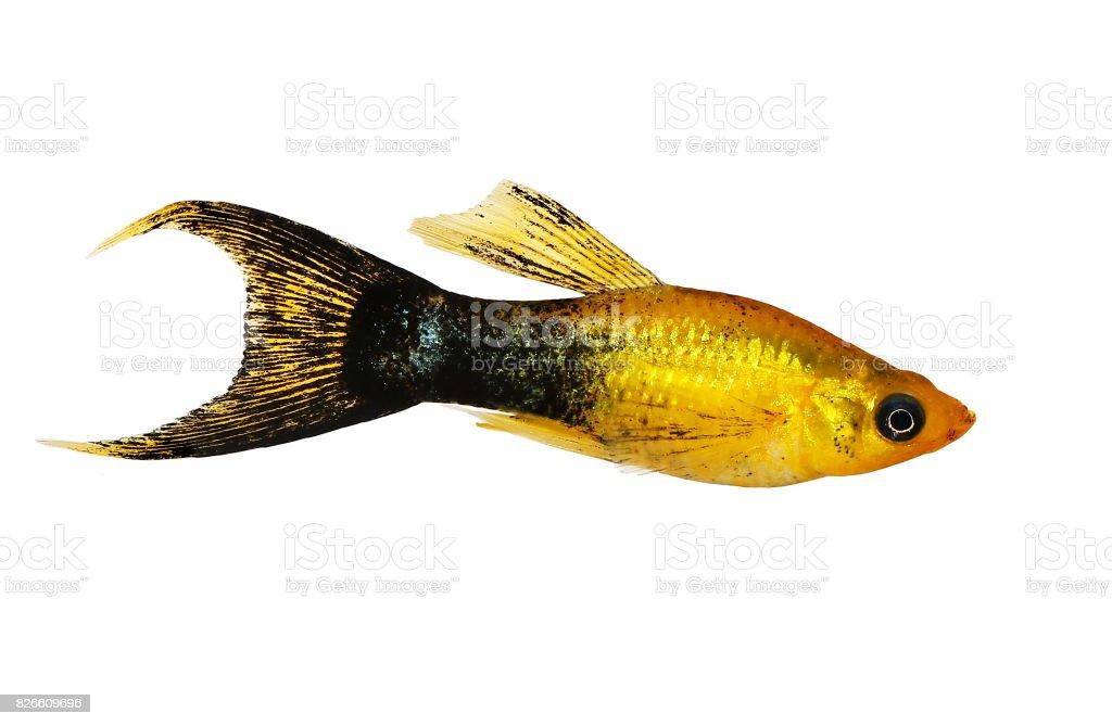 Golden black Lyretail Molly Poecilia latipinna aquarium fish stock photo