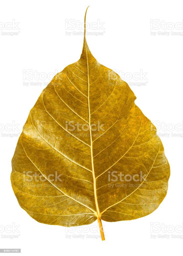 Golden bothi leaf isolated on white background,Pho leaf, bo leaf stock photo
