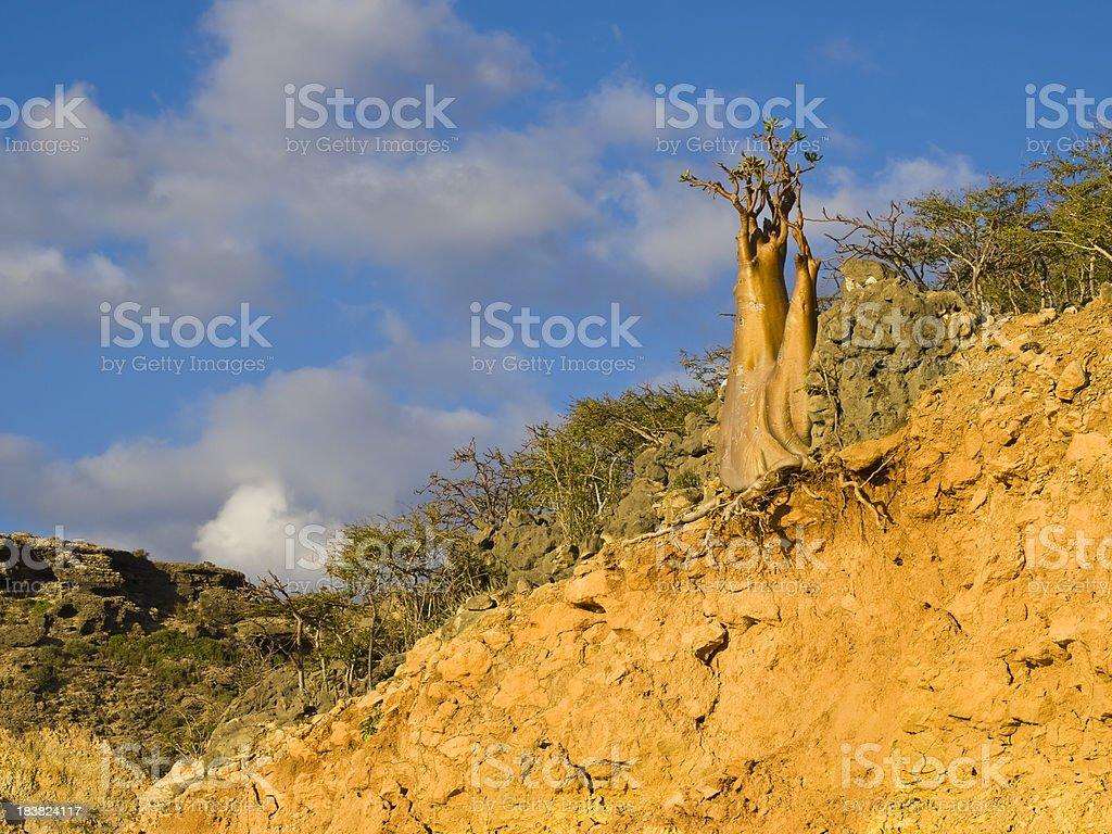 Golden Bottle tree stock photo