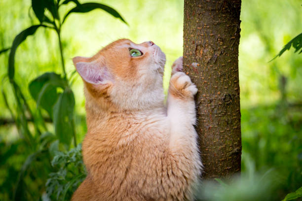 Golden British cat with green eyes sharpens its claws on the tree trunk stock photo
