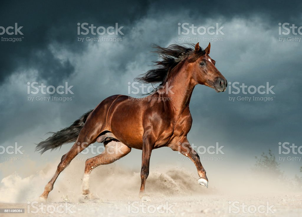 golden brown andalusian horse runs free in the desert stock photo