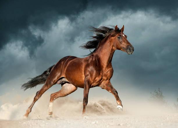 goldenen braunen andalusier läuft frei in der wüste - andalusier pferd stock-fotos und bilder