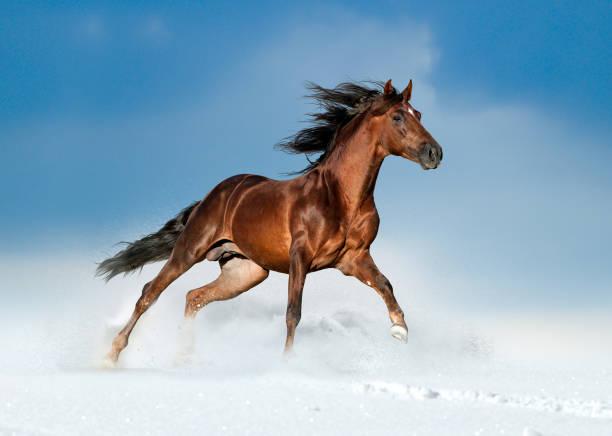 goldenen braunen andalusier läuft frei im feld winter - andalusier pferd stock-fotos und bilder