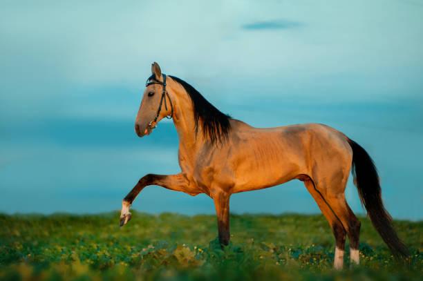 goldene wildleder achal-tekkiner pferde im sonnenuntergang - akhal teke stock-fotos und bilder