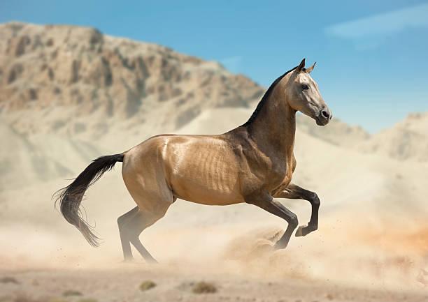 golden buckskin akhal-teke pferd laufen in der wüste - akhal teke stock-fotos und bilder